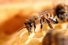 Bienen_-1