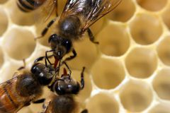 Bienen_-12
