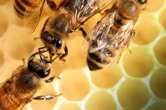 Bienen_-13