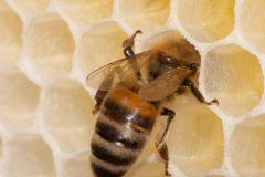 Bienen_-4