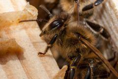 Bienen_-5