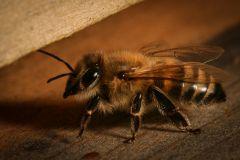 Bienen_-7