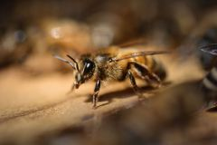 Bienen_-8